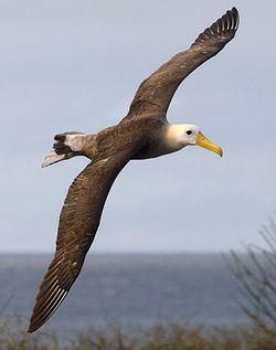 albatross for Cindy Yantis